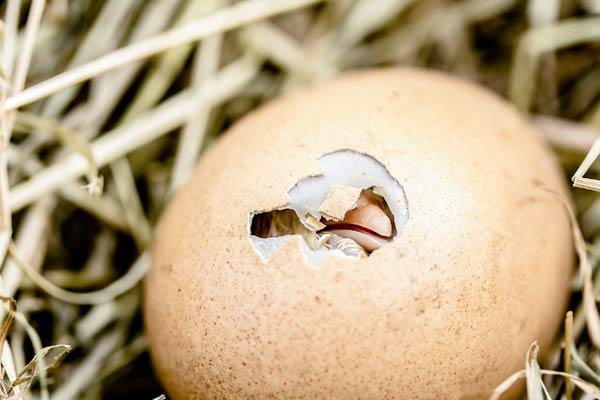 egg incubator hatching