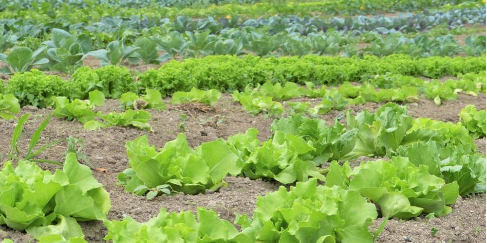 Vegetable Farming | Farming Equipment For Sale In SA | AgriMag
