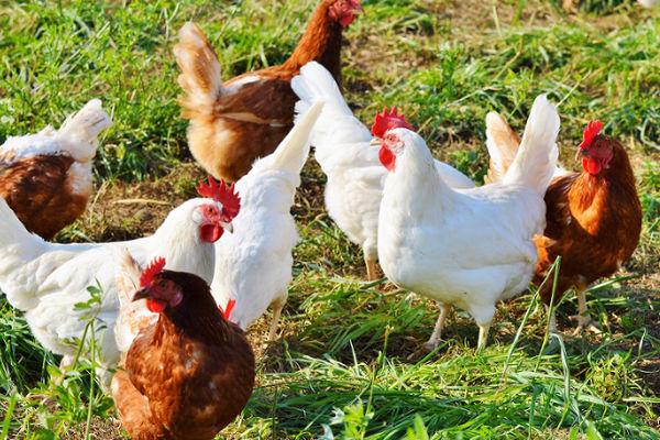 Image result for chickeFarming Life South Africa - Chicken Housingn farming